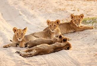 Cecil's Cubs / Photo Credit: Ed Hetherington