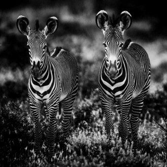 Zebras / Photo Credit: Laurent Baheux