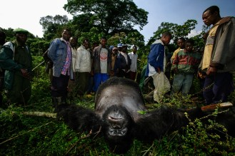 Senkwekwe the Silverback - Photo: Brent Stirton