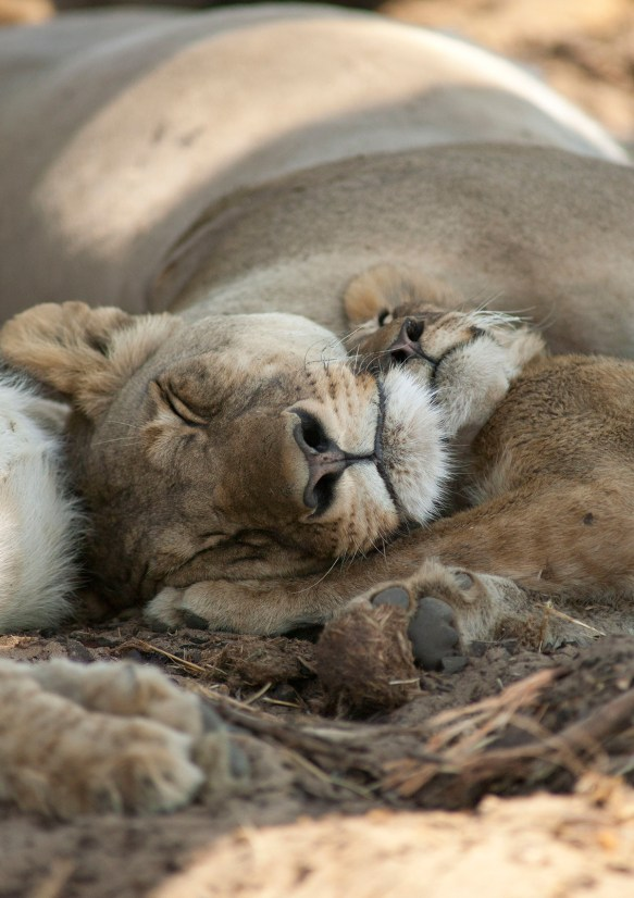 Cecil's cubs safe with mum / Photo: Brent Stapelkamp