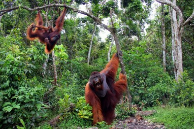 King Tom in Tanjung Puting National Park by Carlos Luque - The park, famous for Orangutan conservation, is in Borneo, Indonesia