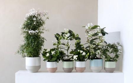 witte geurende planten