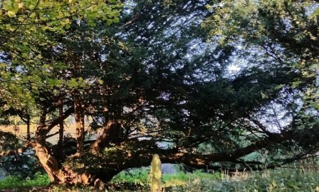 Yews in churchyards may point to pre-Christian beliefs in the sacred. Photograph: Matthew L. Tagney