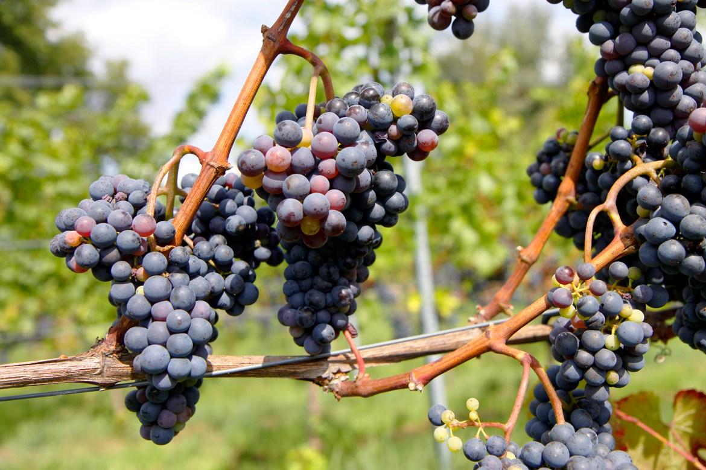 Zo'n druiven moeten toch een erg lekkere wijn opleveren!