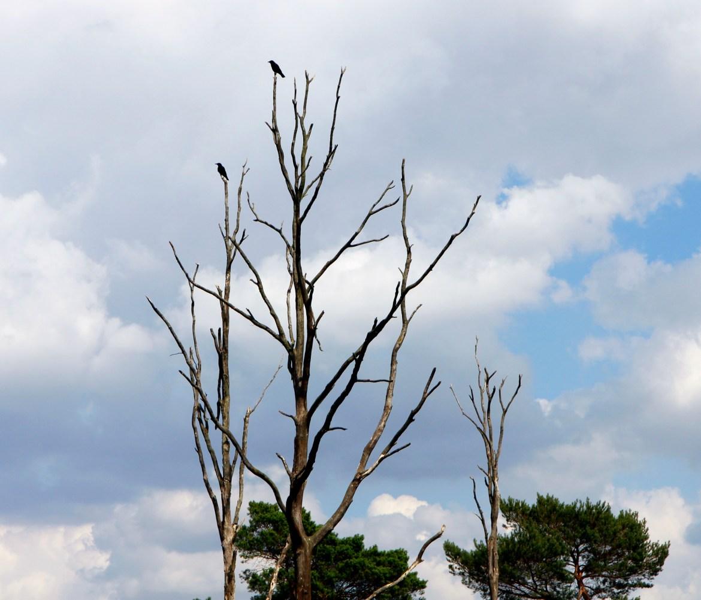 De dode, hoge bomen vormen een goed uitzichtpunt voor vogels.