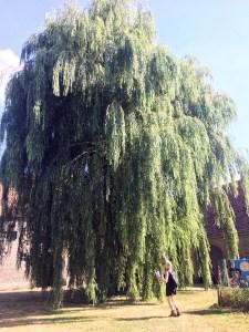 Een enorme boom op de binnenplaats.