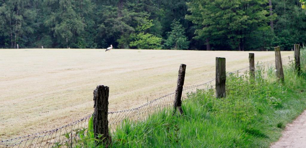 Ooievaar in het veld