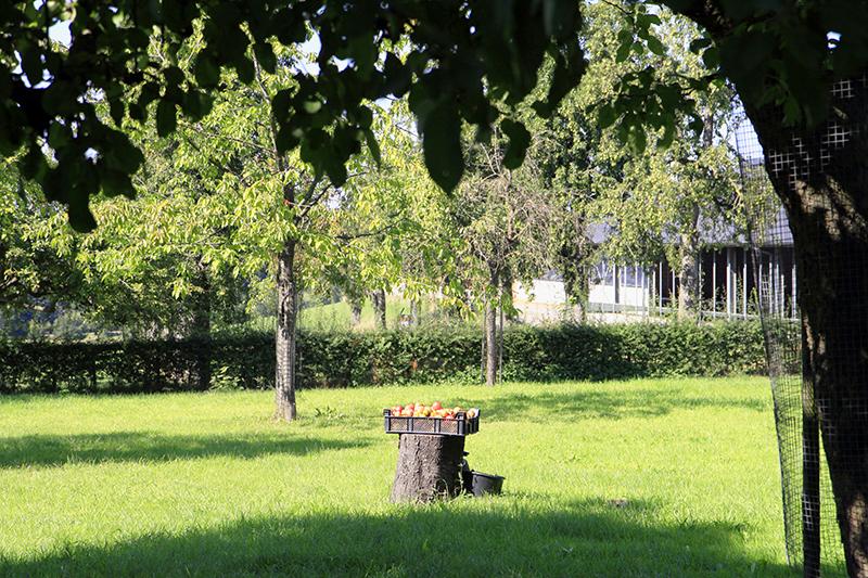 Appels in de boomgaard
