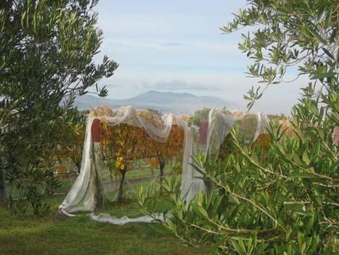 Freshly picked grapevine framed by olive trees. Haurangi Range in the background.