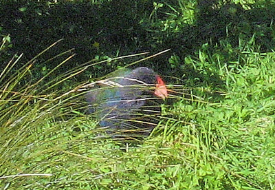 One takahe ten years ago; one today. Just a big pukeko really. It's nice they are looking after them, but there's no visible improvement in their numbers at Mount Bruce – at least where the public are allowed to look.