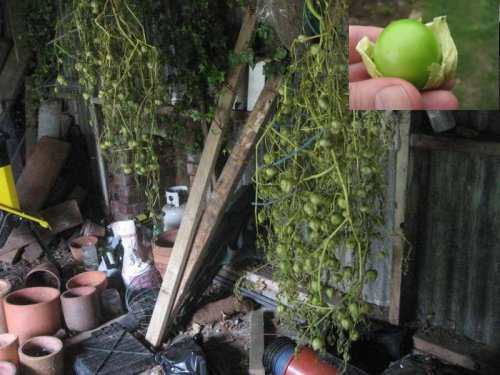 Tomatillo plants stored in our shed. Insert: tomatillo fruit.