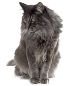 norwegian_forest