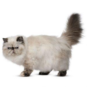 Maksud di sebalik pergerakan ekor kucing