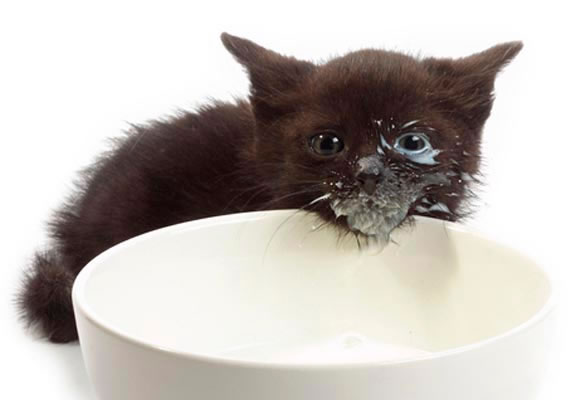 ✔ Kepentingan Susu Kepada Anak Kucing
