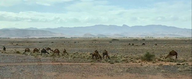 Camel herd grazing in gravel desert