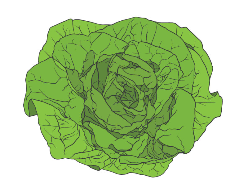 absolude-illustrations_butter-lettuce