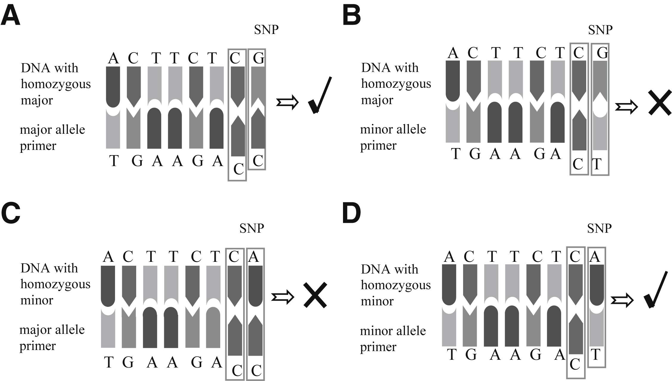 Genotyping Single Nucleotide Polymorphisms in Human