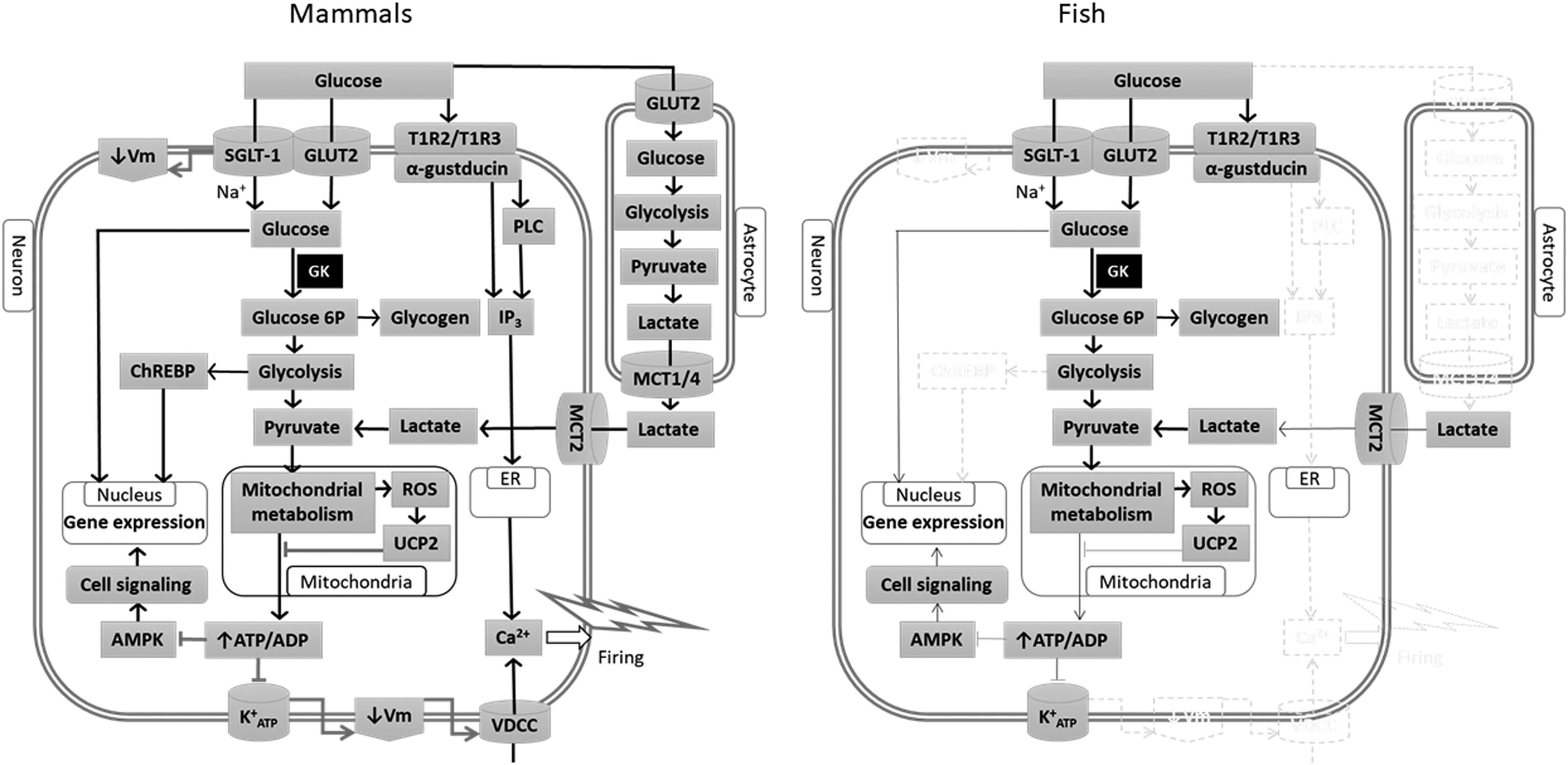 Central Regulation Of Food Intake In Fish An Evolutionary
