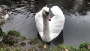 El cisne de Brønderslev con un dardo clavado en la cabeza y otro en el cuello. (Foto: Policía ) - PULSAR PARA AMPLIAR -