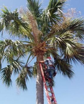 Los ingenieros de seguridad se aseguran que los cocos no causen molestias a los clientes del hotel. (Foto: Cortesía St.Thomas)