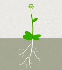 La planta sólo genera colorantes rojos cuando sus raíces entran en contacto con las fugas de material explosivo. Si no hay explosivos, sus hojas y tallo se mantienen verdes. (Foto: Ilustración)