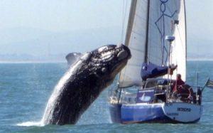 Momento en el que la ballena salta sobre el velero (Foto: cortesía) - PULSAR PARA AMPLIAR -