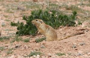 La rata del desierto es el mamífero portador del parásito. (Foto: archivo)