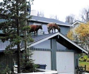 La curiosidad llevó a estas dos vacas a subir solas al tejado del garaje. Foto: Cortesía R. Lauritzen