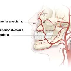 Anterior Teeth Diagram Toyota Fujitsu Ten 86120 Wiring Particle Embolization Of The Bilateral Superior And Inferior Alveolar Arteries For Life ...