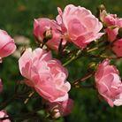 Taille arbustes et rosiers | Jo votre jardinier paysagiste à Chevillon, Charny Orée de Puisaye, Yonne (89) | www.jo-votre-jardinier-paysagiste.fr
