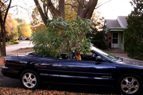 Photo of a fica tree being moved in a convertible taken by Joana Miranda