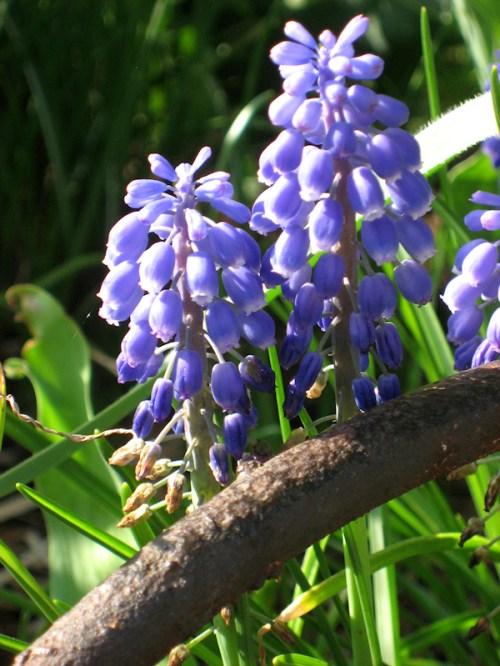 Blue hollyhock flowers, photo taken by Joana Miranda