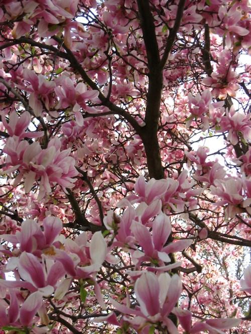 Photo of magnolia tree, taken by Joana Miranda