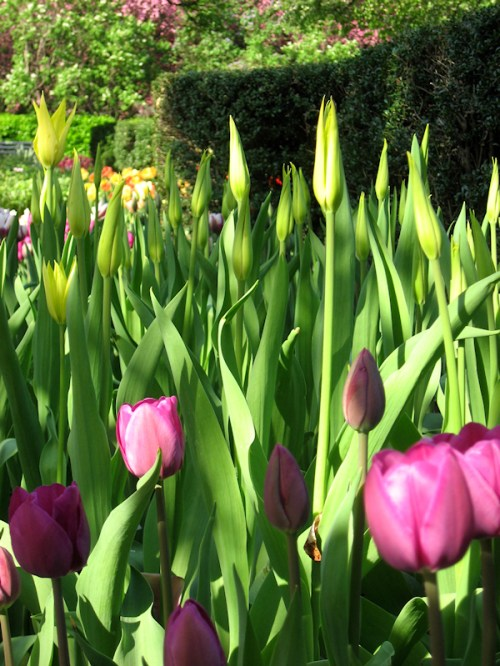 Colorful pointy tulips in the Conservatory Garden in Central Park, photo taken by Joana Miranda