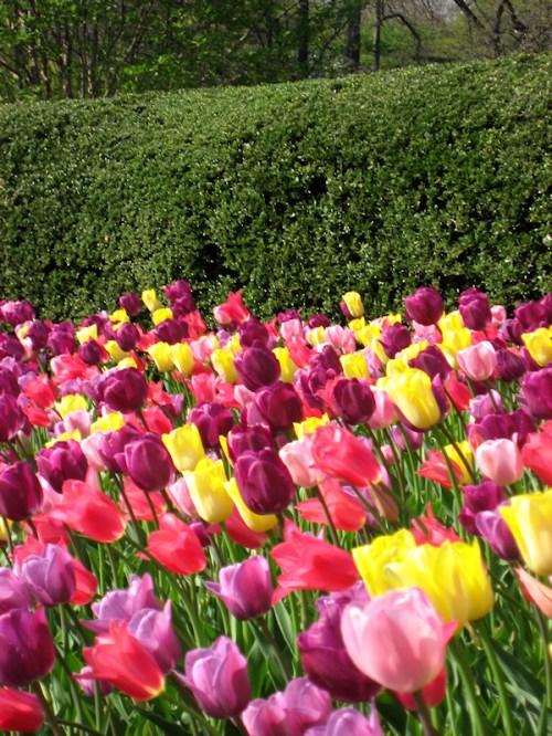 Field of multicolored tulips, photo taken by Joana Miranda