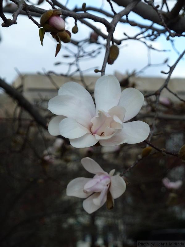 magnolia blossom in DC