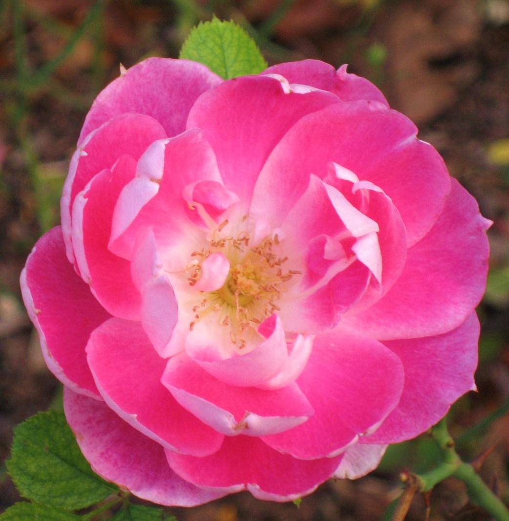 Photo of pink rose opening
