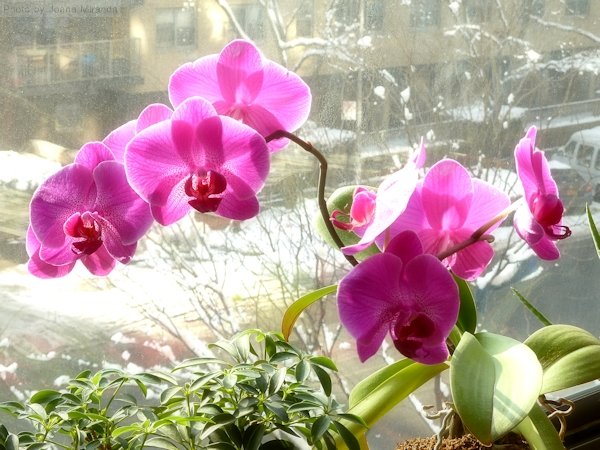 Photo of Joana's orchid in full bloom