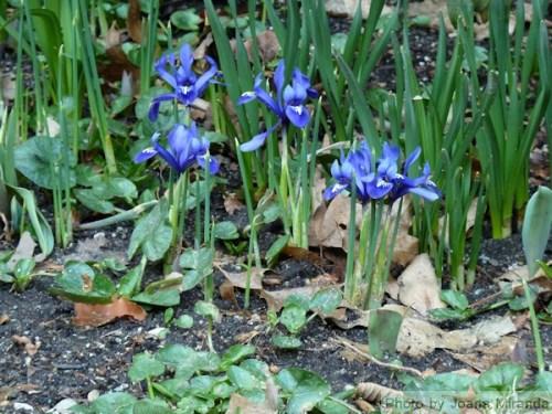 tiny purple irises