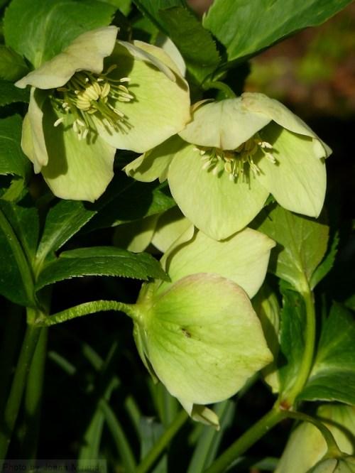 green Lenten rose