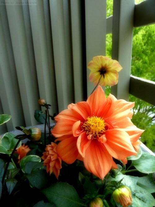 orange and yellow dahlias