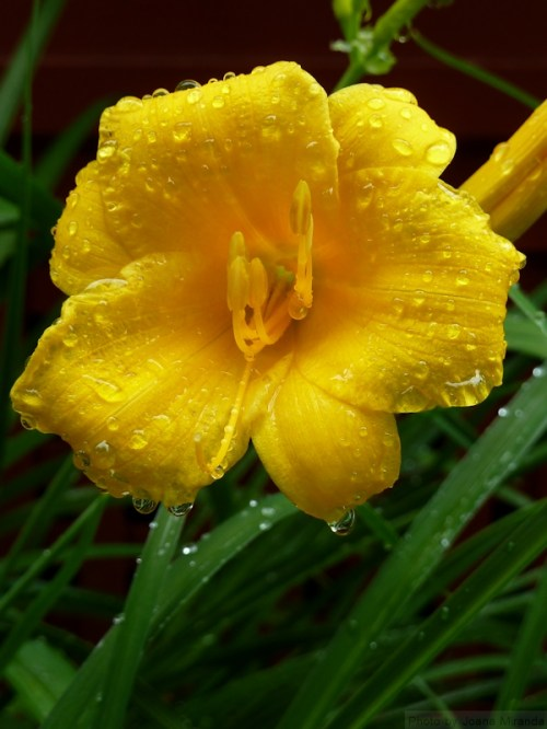 yellow daylily with water drops