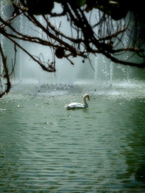 swan in Madeira