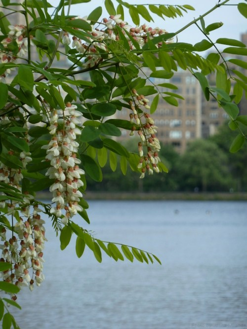flowering tree on the reservoir