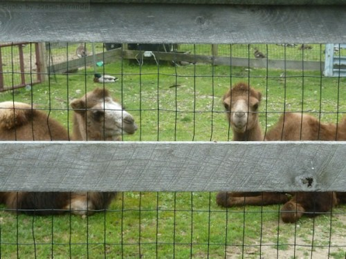 pair of camels