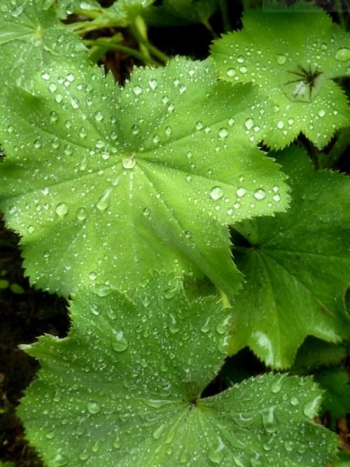 Photo of raindrops on Lady's Mantle plant in New Hampshire, taken by Joana Miranda
