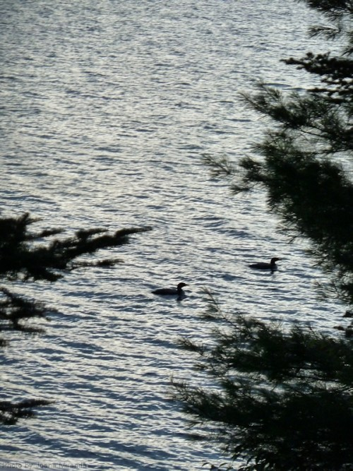 two loons on Goose Pond
