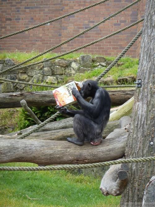 Chimp eating corn flakes