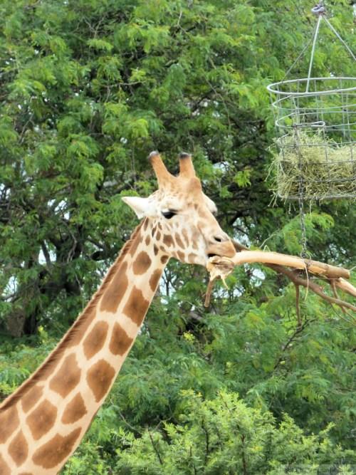 Giraffe chewing on stick
