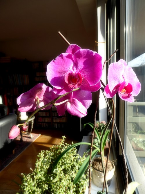 My orchid in bloom